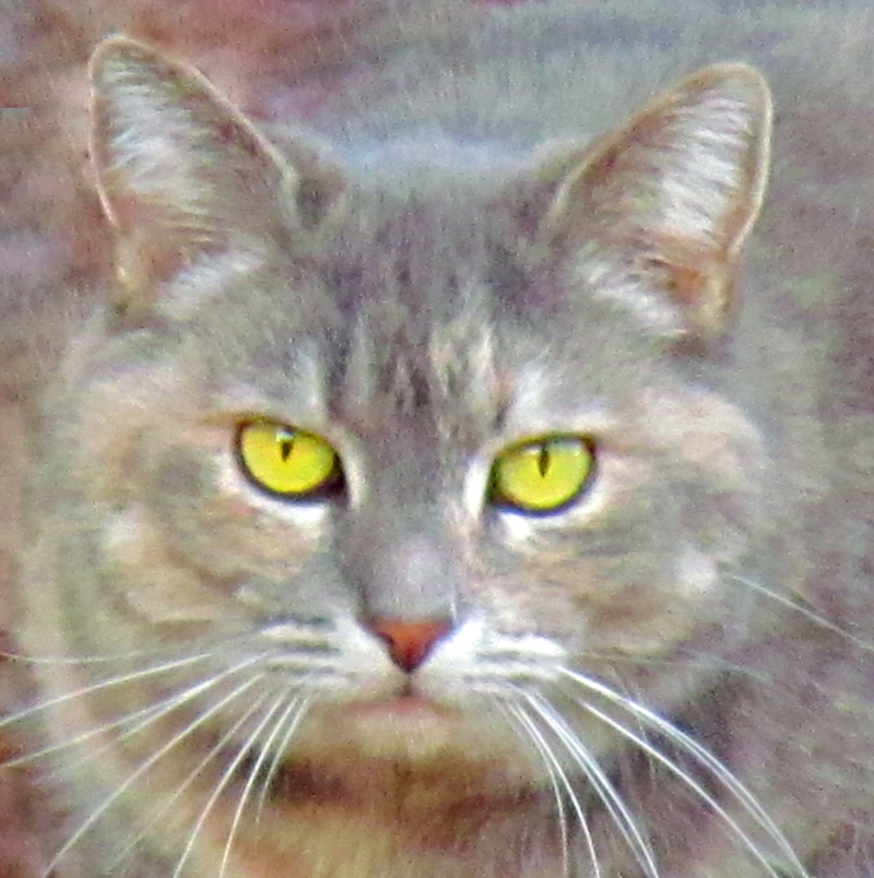 Close up animal photography of a gray cat with yellow eyes.