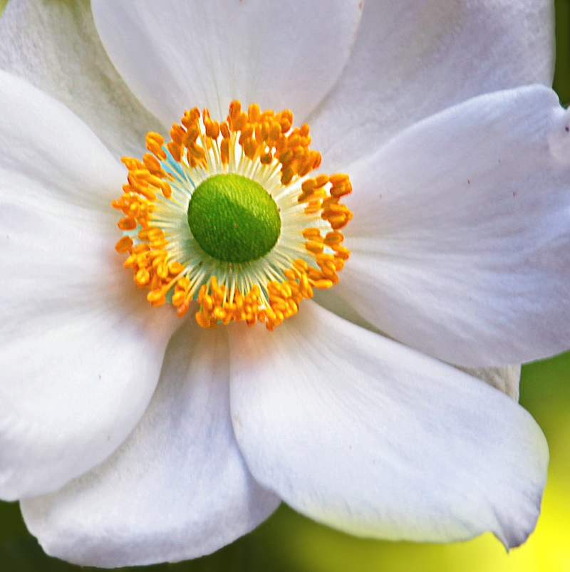 Macro floral photography of the yellow and green center of a white flower.
