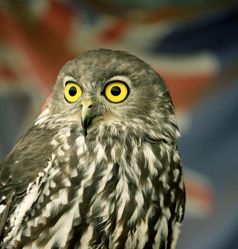 Wildlife photography of an Ninox strenua owl from Australia.