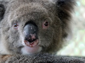 Wildlife photography of a Koala Bear from Australia.