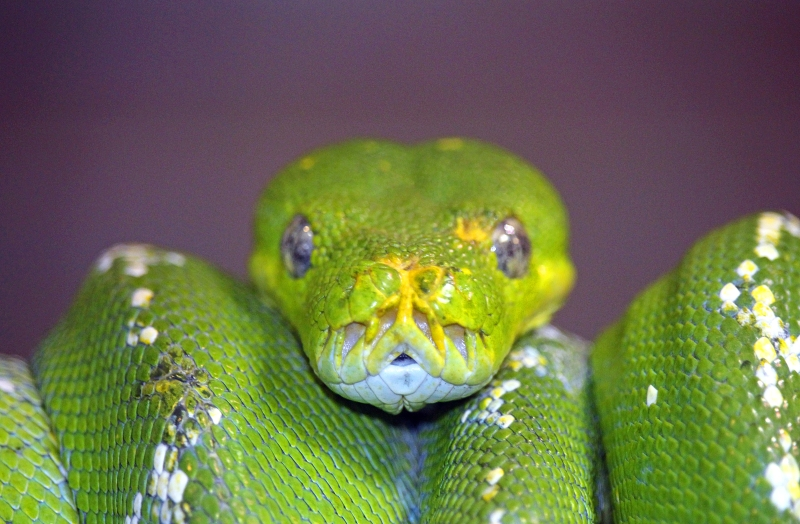 Macro wildlife photography of a head of a green snake.