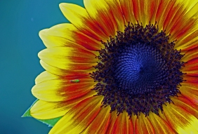 Floral photography of a sunflower.