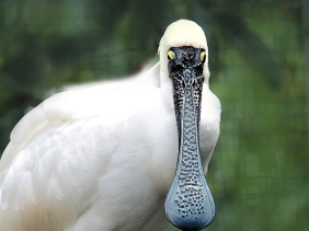 Wildlife photography of a Royal Spoonbill bird from Australia.