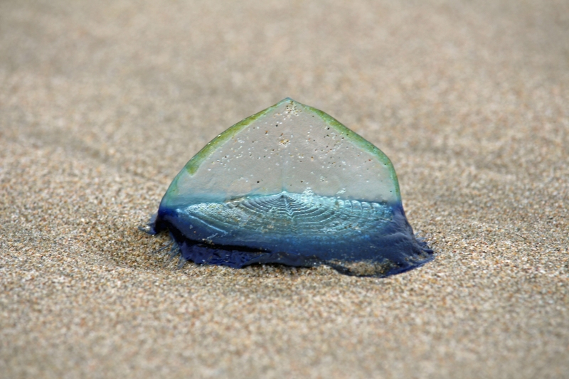 Macro photography of a small blue jellyfish found on the beach in Morro Bay, California.