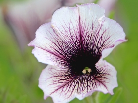 Floral macro photography of a white and dark burgundy petunia.