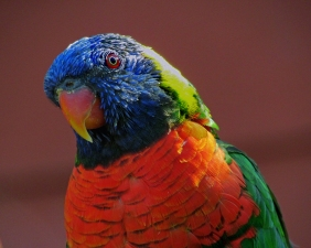Wildlife photography of a face of a colorful parrot.