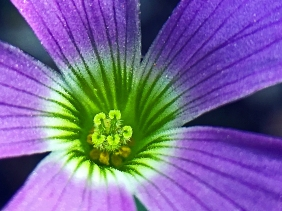 Macro floral photography of the inside of a small purple flower.