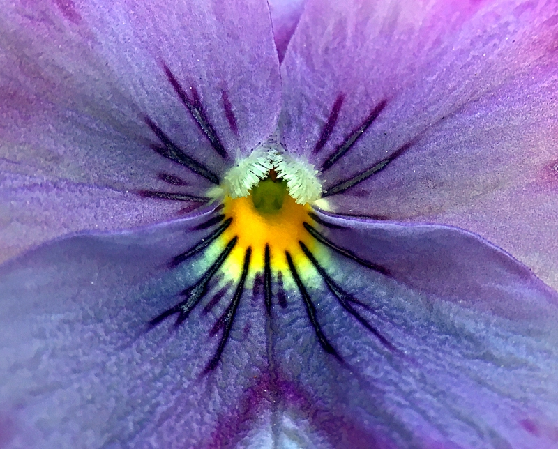 Macro floral photography of the center of a purple pansy.