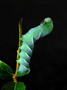 Macro nature photography of a green caterpillar.