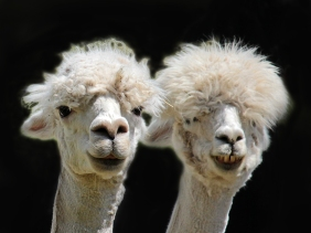 Close up animal photography of two white alpacas.