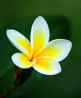 Macro floral photography of a white and yellow plumeria blossom.