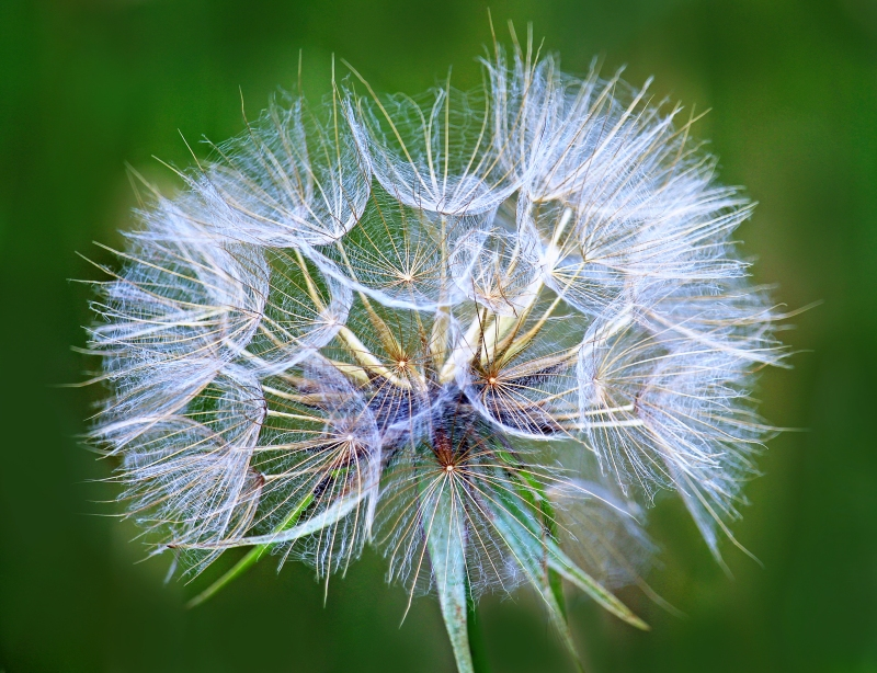 Macro floral photography of a dandelion.