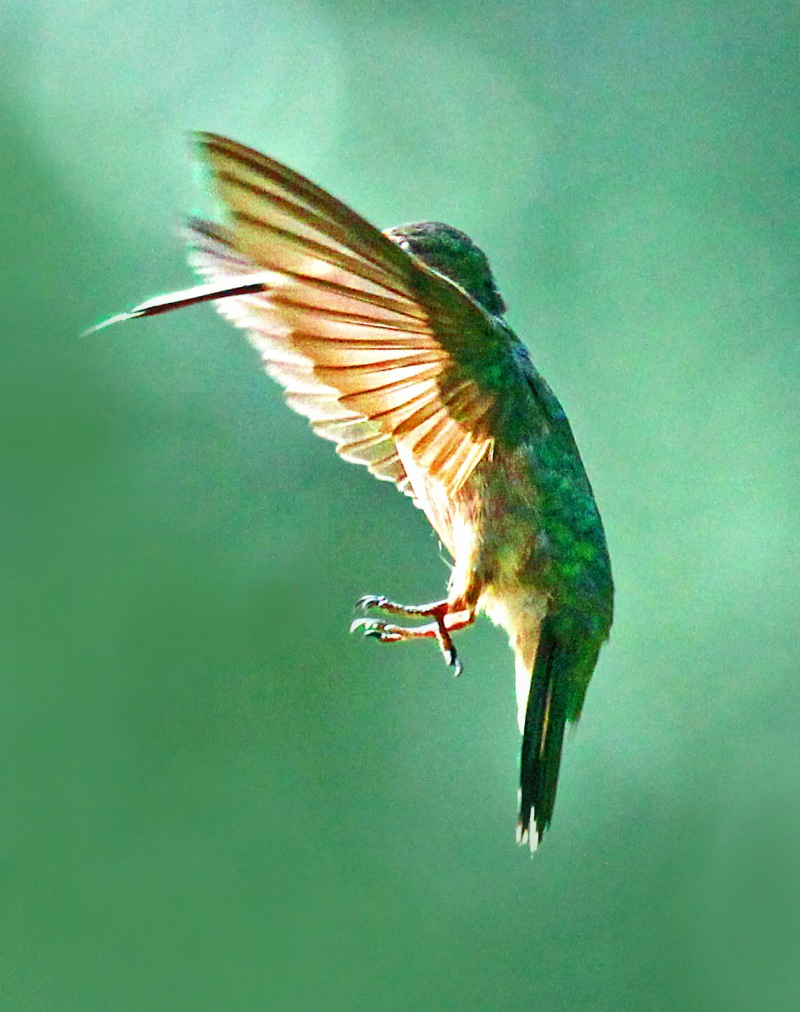 Bird photography of a hummingbird in flight.