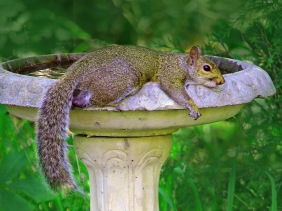 Wildlife photography of a squirrel relaxing on a birdbath.