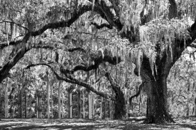 Black and white nature photography of a grove of oak trees covered with Spanish moss.