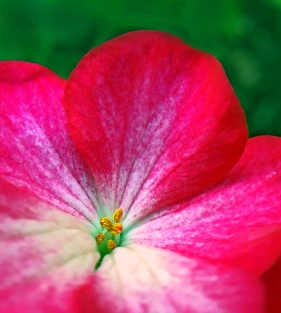 Macro floral photography of a pink vinca flower.