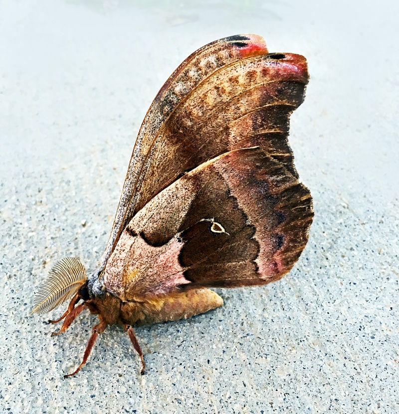 A Large Polyphemus Moth