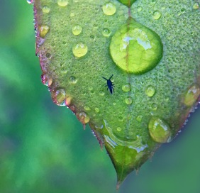 Macro nature photography of a green leaf, water droplets, and a tiny black bug.