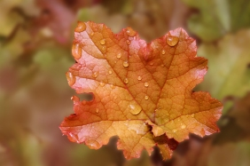 Macro nature photography of water droplets on a fall leaf.