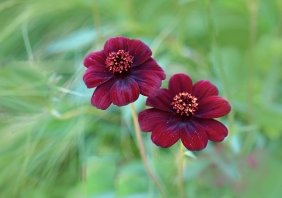 macro floral photography of two velvety maroon flowers.