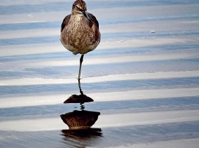 Bird photography of a California sandpiper standing on one leg.