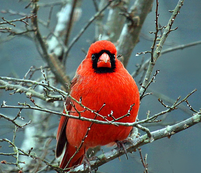 Wild life bird photography of a red male cardinal from South Carolina.