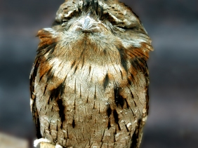 Wildlife photography of a Tawny Frogmouth Owl of Australia.