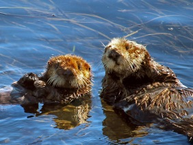 Wildlife photography of two California sea otters off the coast of Morro Bay.