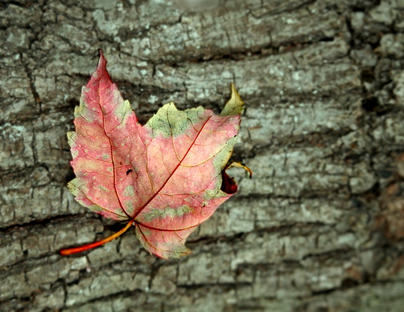 Macro nature photography of a colorful fall leaf lying on tree bark.