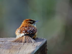 Backyard bird photography of a Carolina wren.