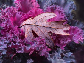 Macro nature still lifef photography of a leaf resting on ornamental cabbage.