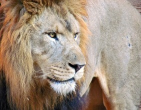 Wild life photography of the head of a male lion from the Riverbanks Zoo in Columbia, SC.