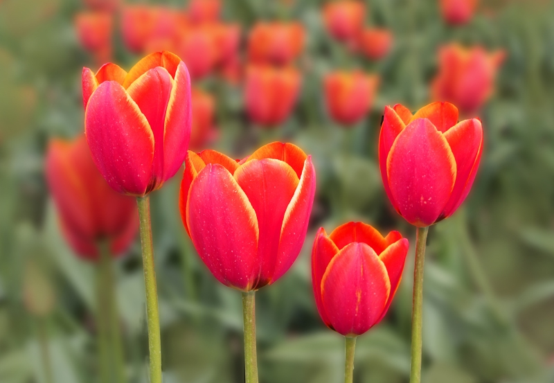 Close up floral photography of four colorful tulips.