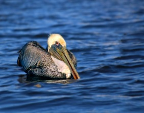 Close up wildlife photography of a pelican floating on the water in Morro Bay, California.
