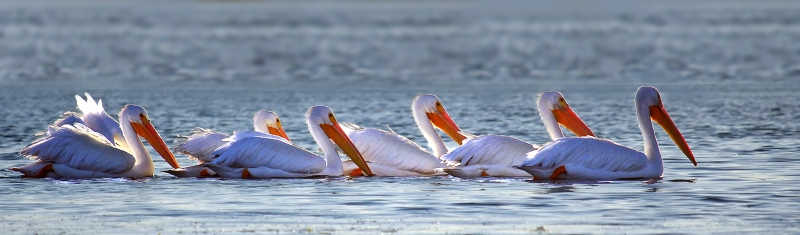 Bird photography of a line of pelicans floating on the waters of Morro Bay, California.