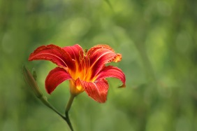 Floral photography of an orange day lily.