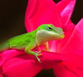 Macro wildlife photography of a green anole lizard on a red rose.