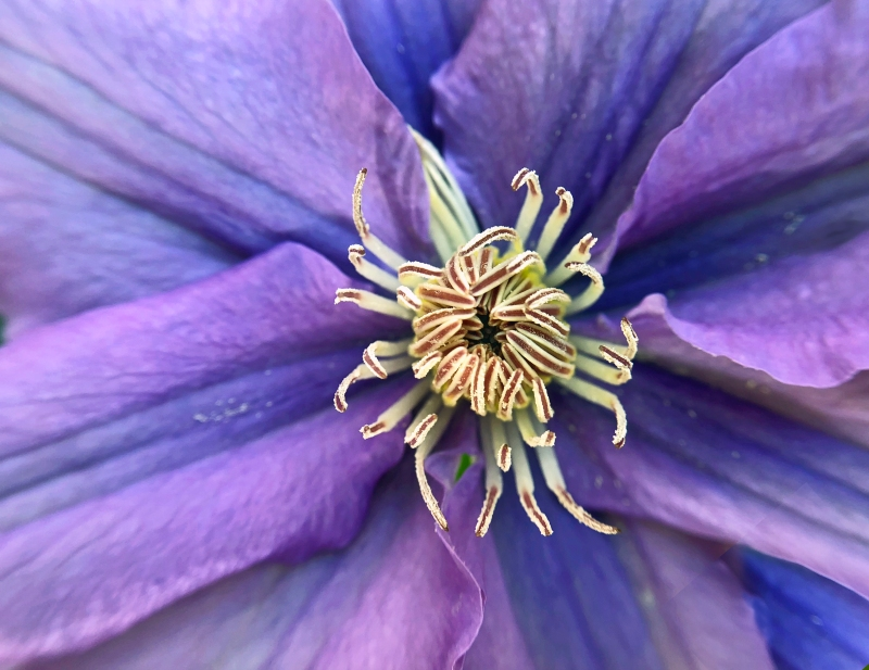 Macro floral photography of a delicate purple clematis flower.