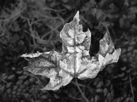 Black and white nature photography of a fall leaf resting on pine cones.
