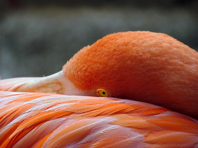 Wildlife bird photography of closeup of a flamingo resting its head on its back.