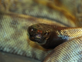 Wildlife photography of a closeup of a black head of a snake.