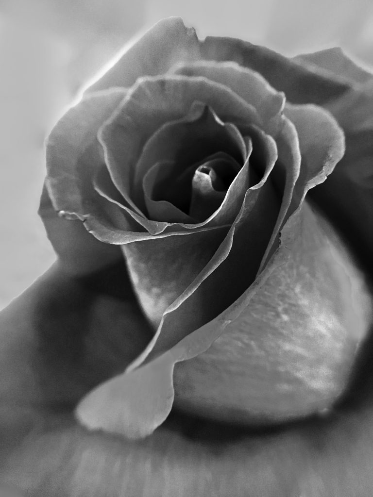 Black and white close up floral photography of a rose.