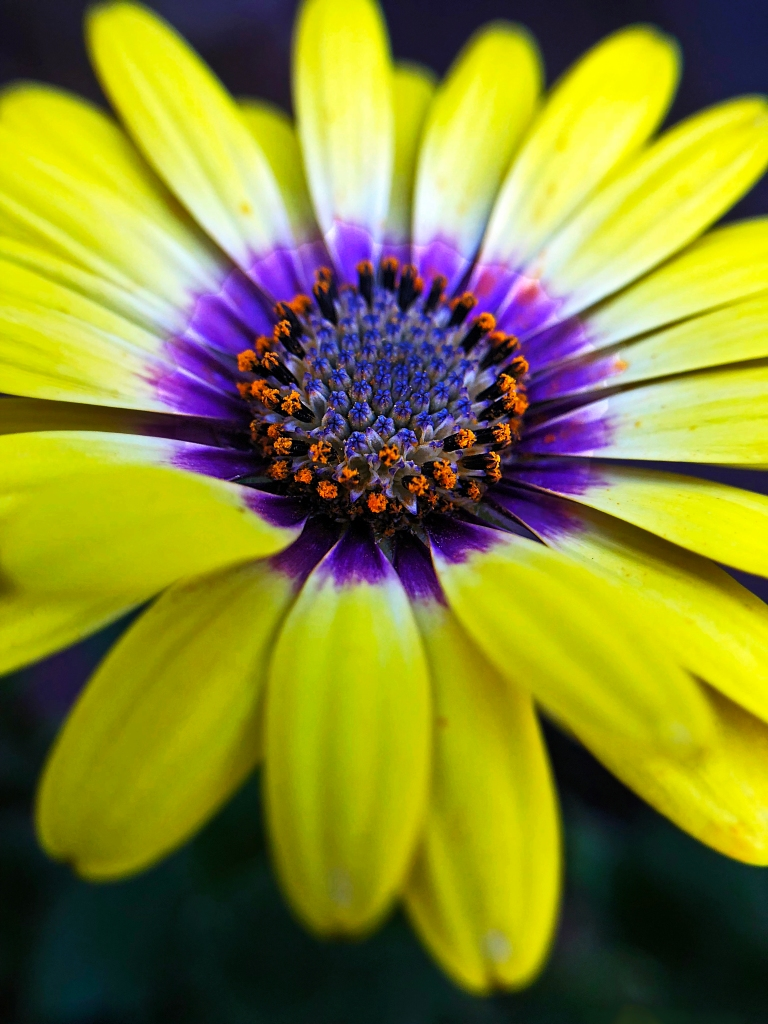 Macro floral photography of a bright yellow daisy.