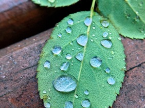 Macro fauna garden photography of water droplets on a green leaf.