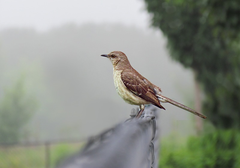 Wildlife bird photography of a mocking bird sitting on a fence on a foggy morning.
