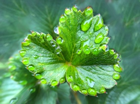 Garden photography of a green leaf trimmed in dew drops.
