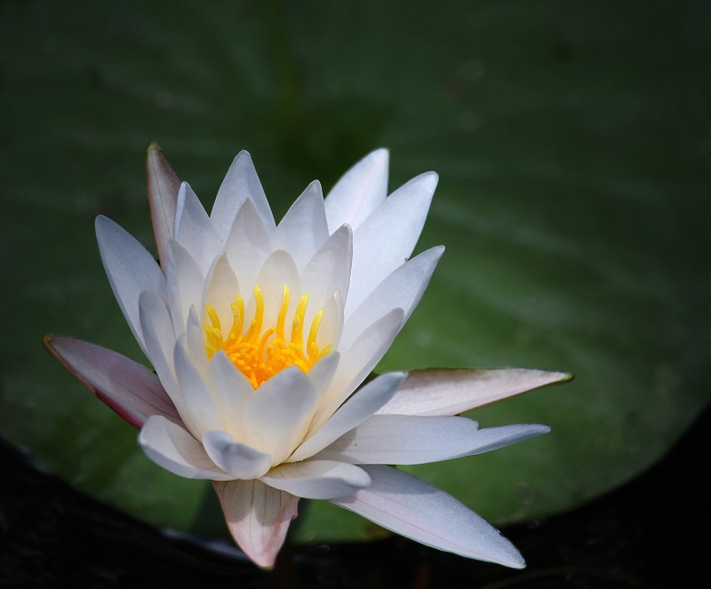 Floral photography of a white water lily on a green lily pad.