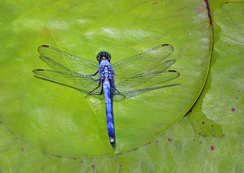 Macro nature photography of a blue dragonfly resting on a green lily pad.