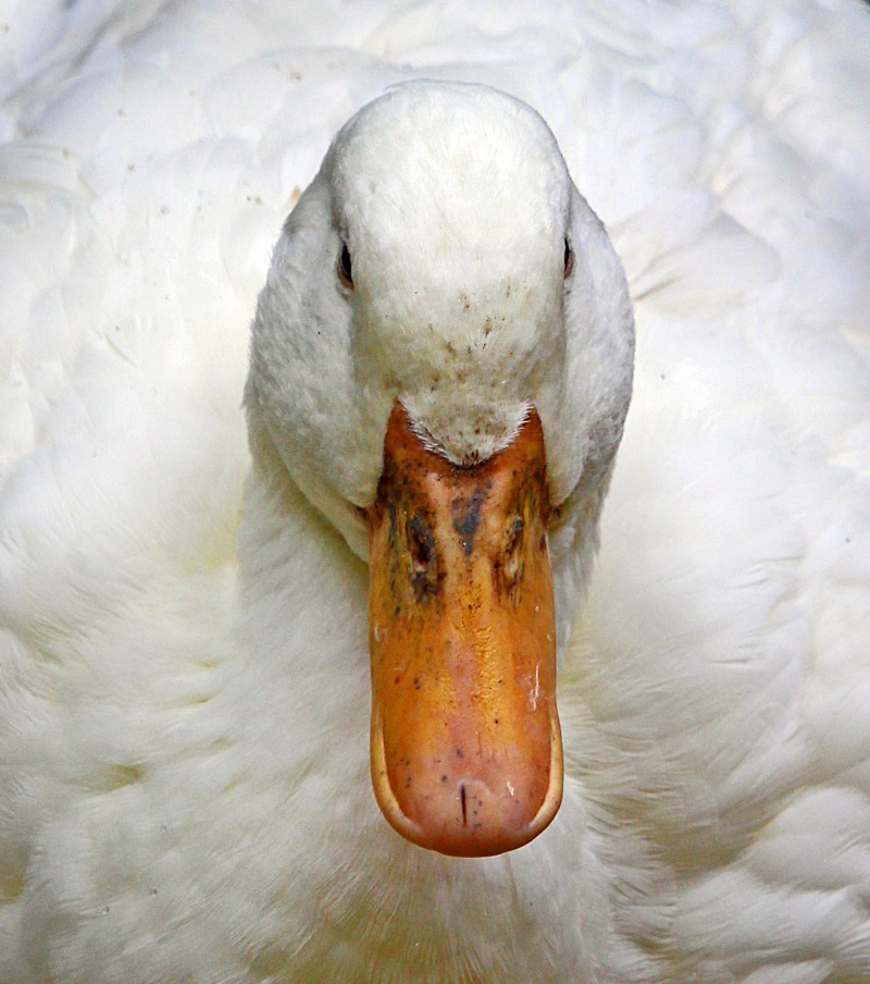 Close up animal photography of the head of a white duck from Magnolia Plantation and Gardens in South Carolina.