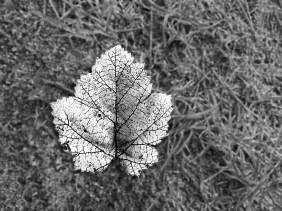 Black and white close up nature photography of a leaf.